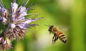 Bienenweide – Blühmischung