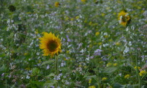 Top Quh 7 – Blühmischung