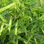 Grünschnittroggen